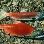 In hot water: Columbia's sockeye salmon face mass die-off
