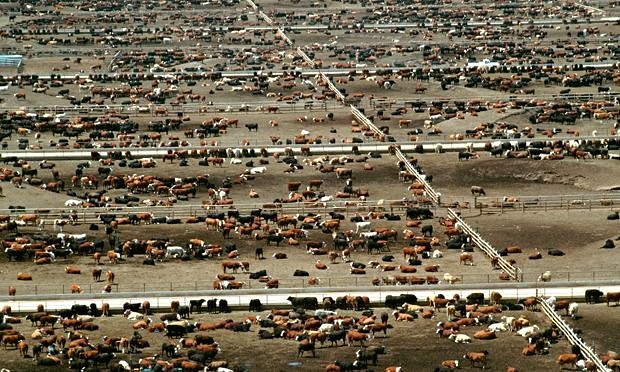 Beef production results in five more climate-warming emissions than chicken or pork. Photograph: Alamy