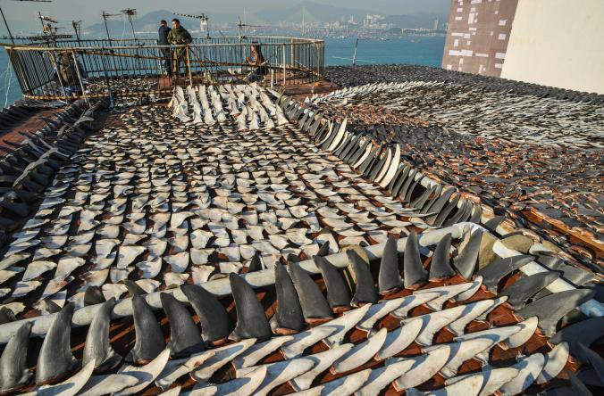 Shark fins, which are overharvested for soup, dry on the roof of a factory in Hong Kong.  Source: Antony Dickson, AFP/Getty, National Geographic